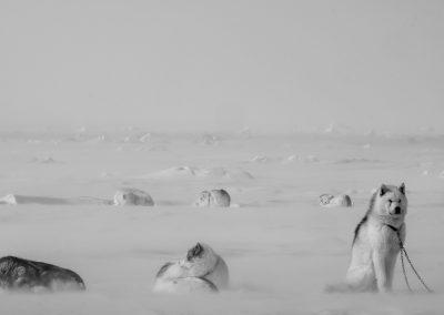 <b>TRAITEMENT PHOTOGRAPHIQUE</b><br><br> <em><b>Ivakkak et le retour des chiens Inuits</b></em>
